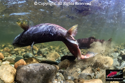 Female Chinook Salmon raising sand and gravel while excavating her redd