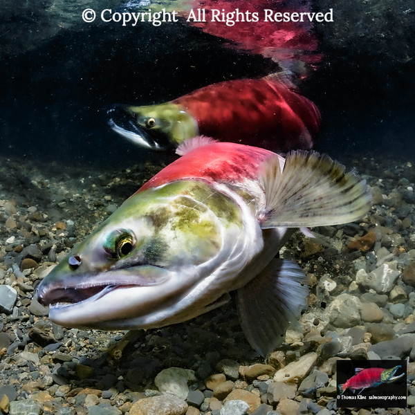 A female Sockeye Salmon digs her redd while alpha male guards.