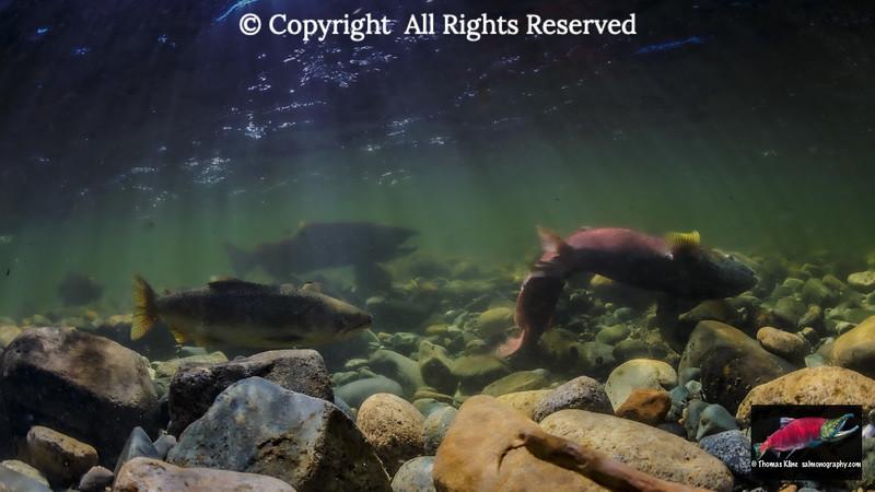 A Female Chinook Salmon excavates her redd