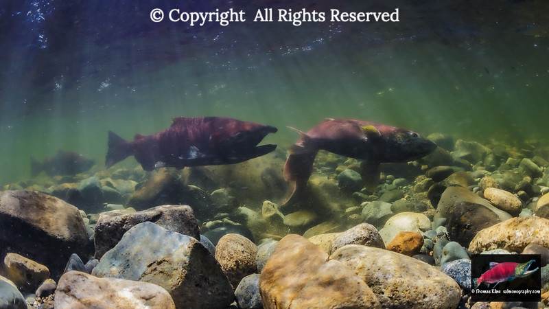 A Female Chinook Salmon excavates her redd