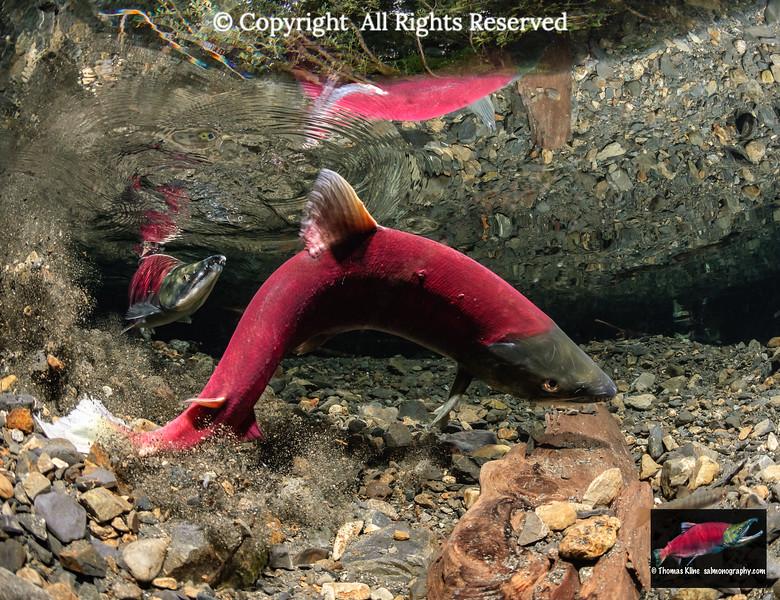 Female Sockeye salmon digs her redd in stream gravel while male guards.