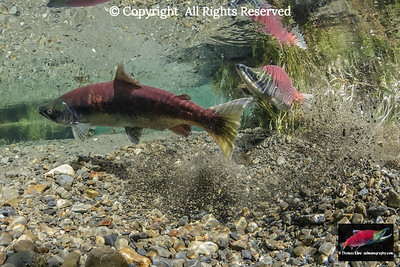 Sockeye Salmon preparing to spawn