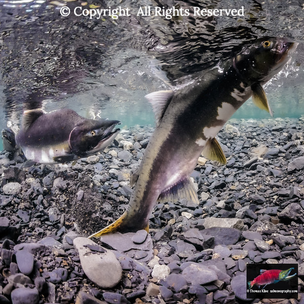 Pink Salmon female breaks surface during redd excavation