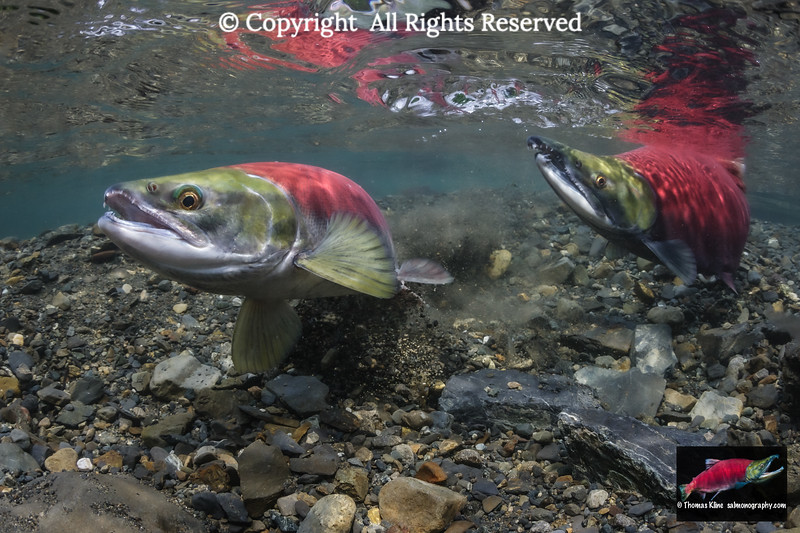 A Sockeye Salmon female excavates her redd