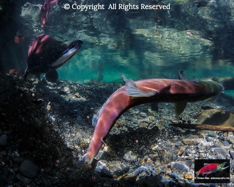 Sockeye Salmon superimposing