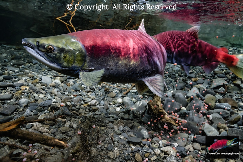 Sockeye Salmon superimposing her redd onto an existing one