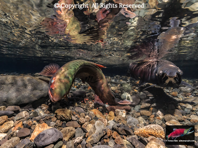 Coho Salmon superimposition