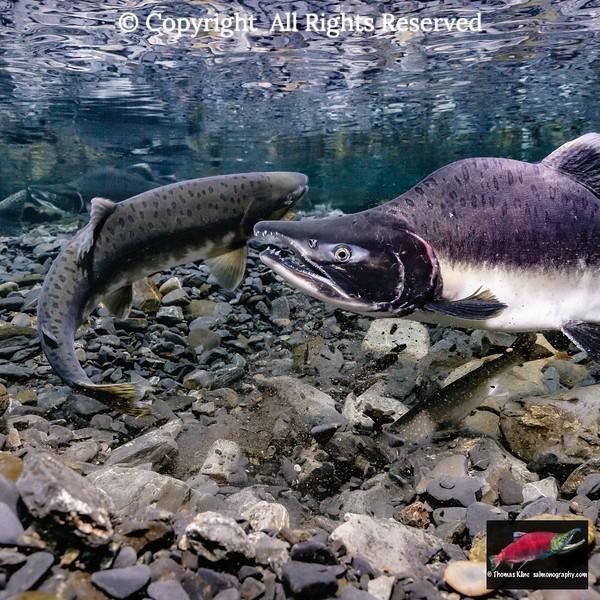 Pink salmon egg ovivory by Dolly Varden