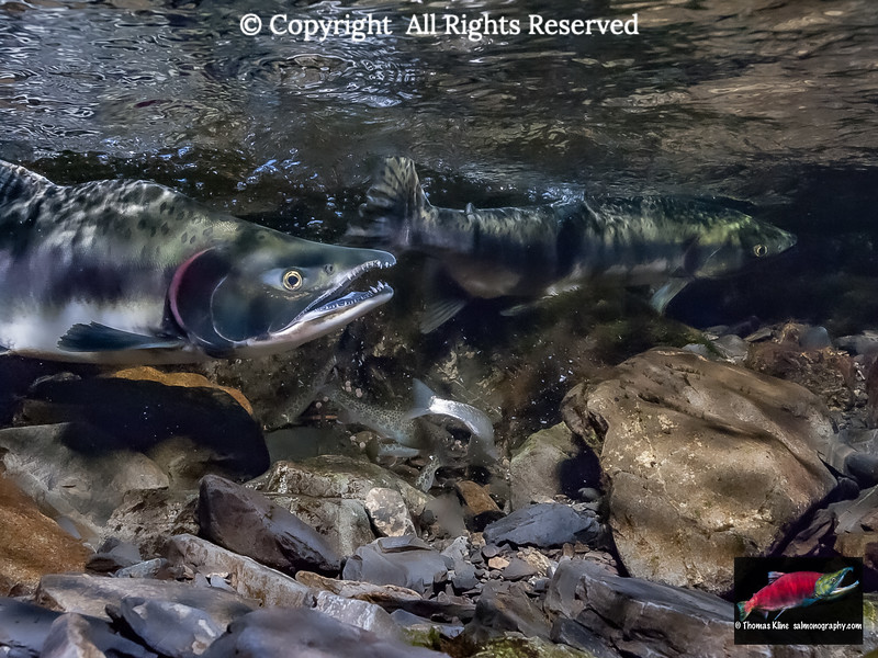 Pink salmon egg ovivory by Coastal ctthroat Trout and Dolly Varden