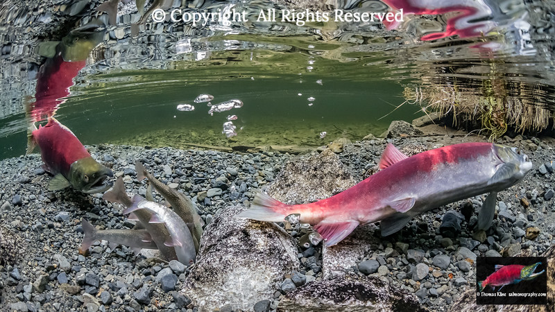 Dolly Varden Charr predate a Sockeye Salmon redd as the female works to cover it with stream sediment