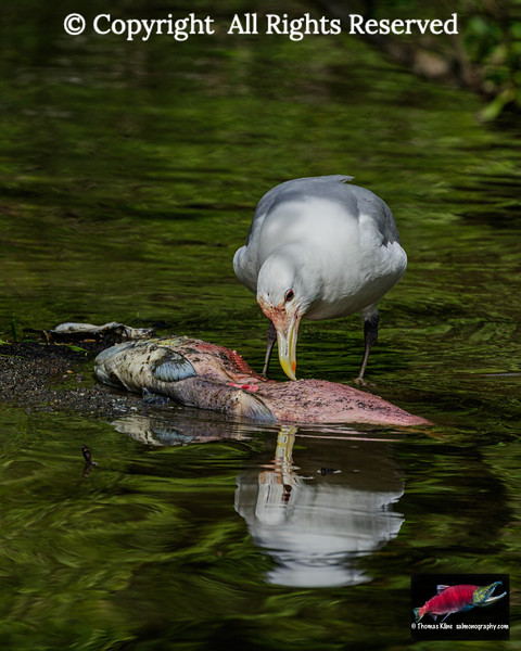 Glaucous-winged Gull dining on a spawned-out male Sockeye Salmon