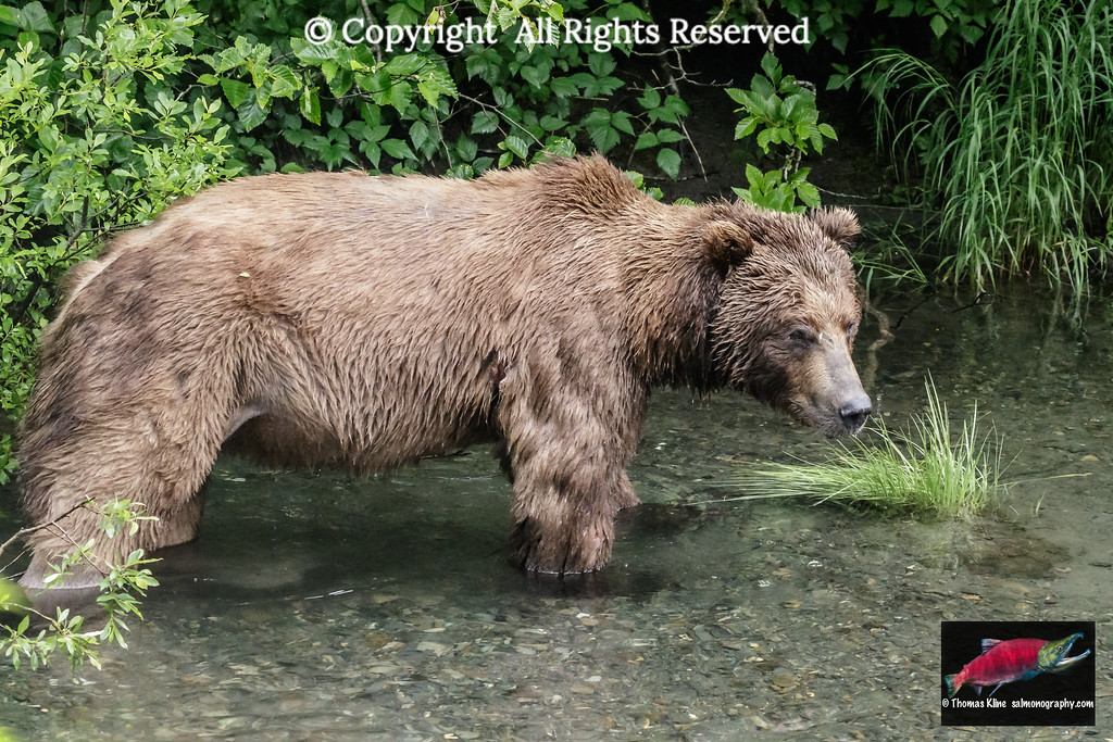 Grizzly Bear on the look-out for salmon