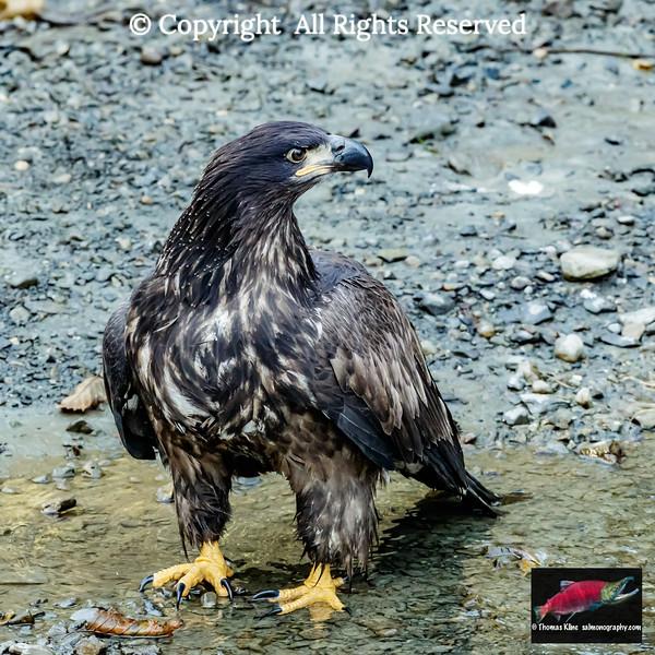 Juvenile bald eagle foraging in a salmon stream.