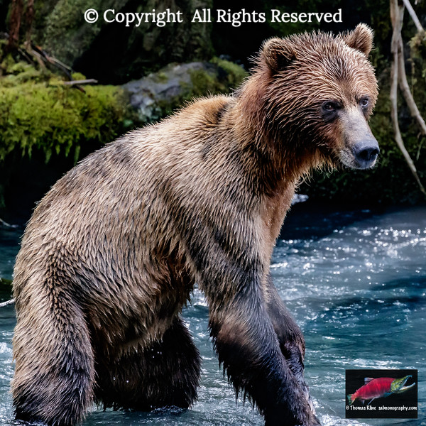 Grizzly in salmon stream