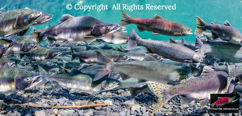 Putative stray Sockeye Salmon
