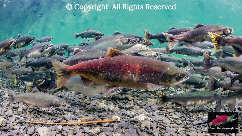Putative stray Sockeye Salmon