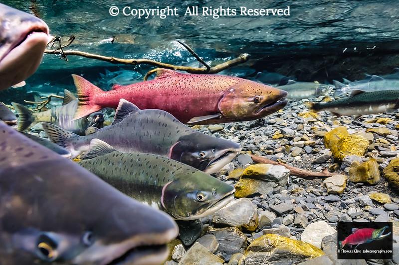 Putative stray Chinook Salmon