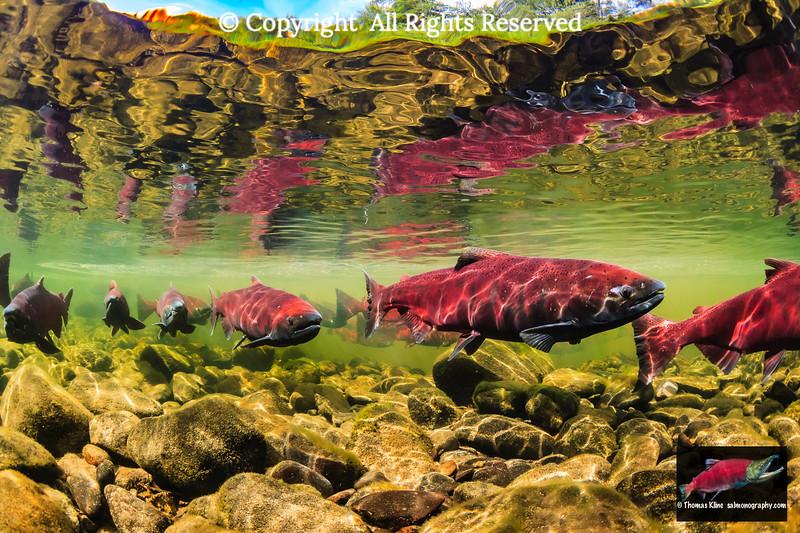 Chinook Salmon holding prior to spawning