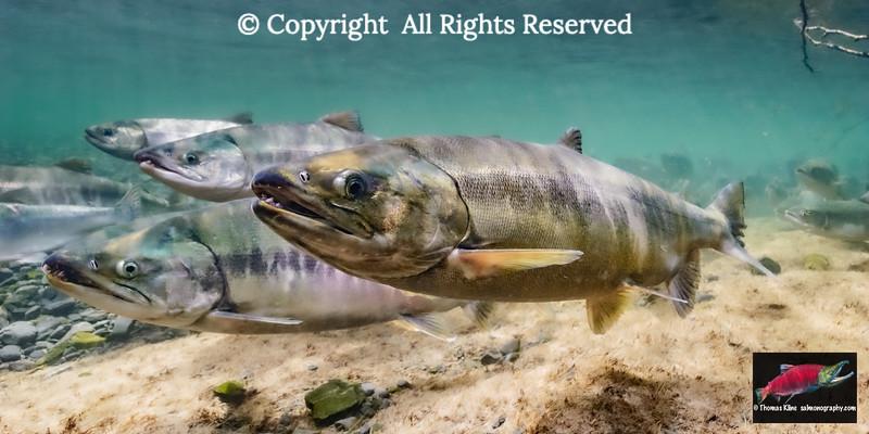 Chum Salmon spawning migration