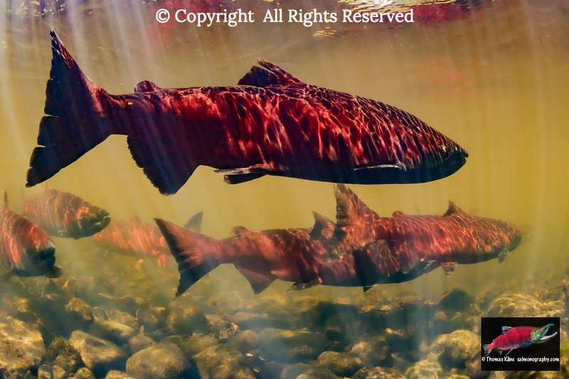 Chinook Salmon prior to spawning