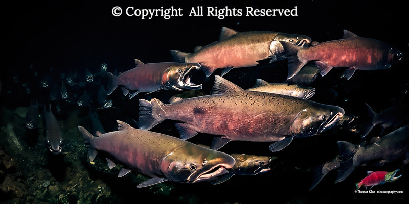Coho Salmon spawning migration