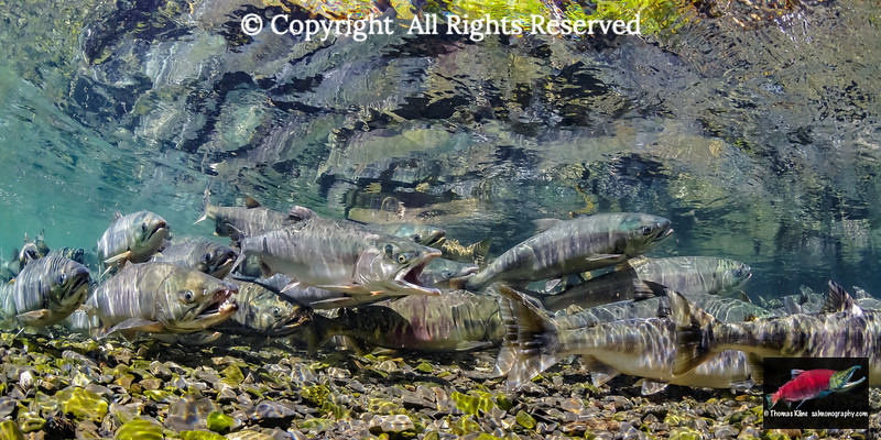 Male Pink Salmon gaping