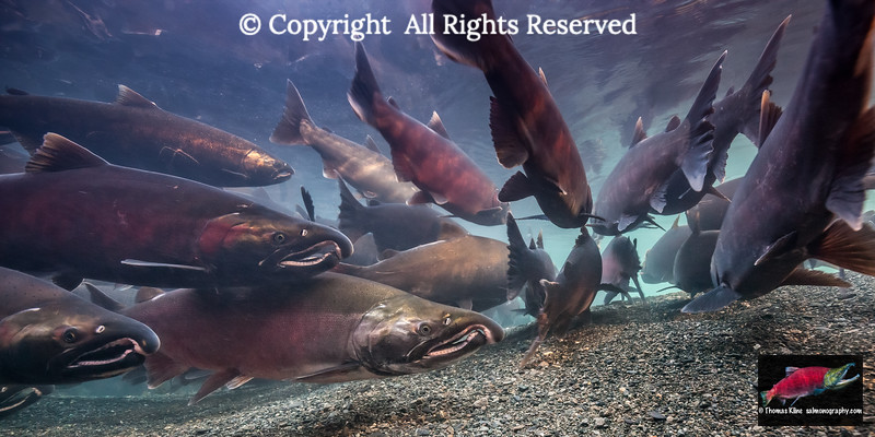 Coho Salmon staging near their spawning grounds