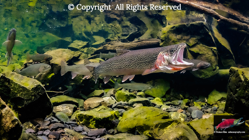 Male Cutthroat Trout gaping