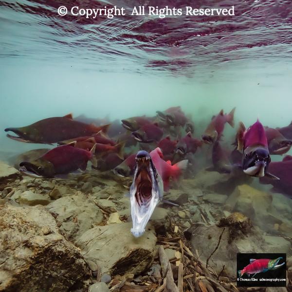 Sockeye Salmon emerging from glacial water