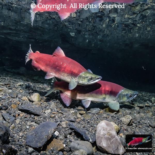 Courting Sockeye Salmon