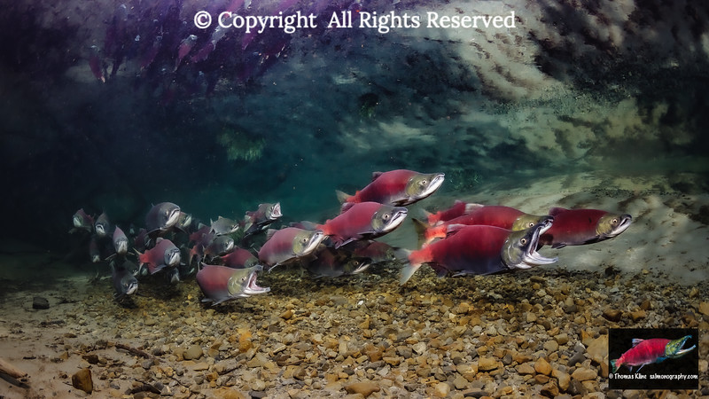 Three gaping Sockeye Salmon