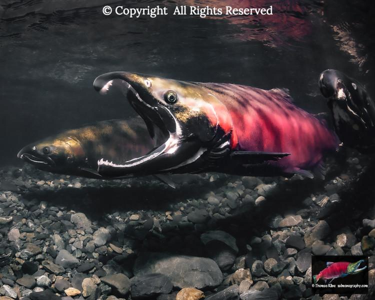 Gaping Coho Salmon male