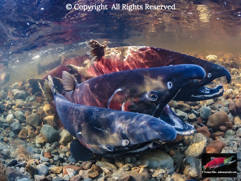 Coho Salmon spawning in stained-water 18-mile Creek