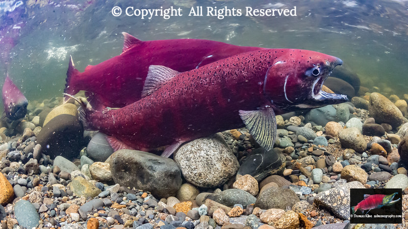A female Chinook Salmon squats on her excavated redd as she commences to spawn