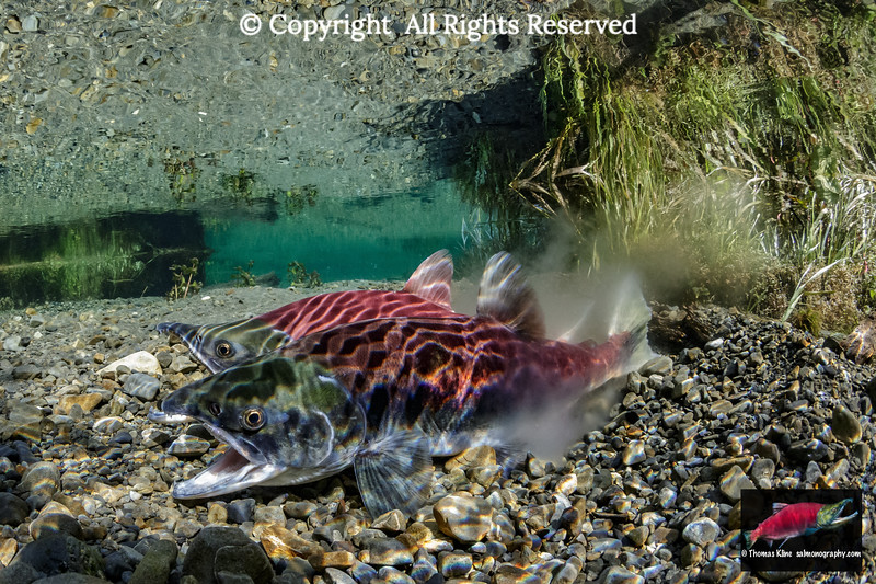 Sockeye Salmon in the act of spawning