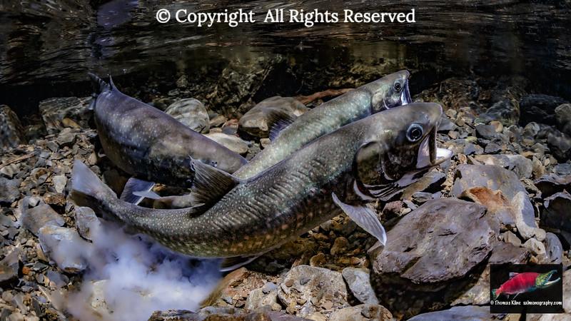 Dolly Varden spawning