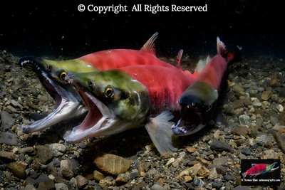 Sneaker Sockeye Salmon about to join a spawning