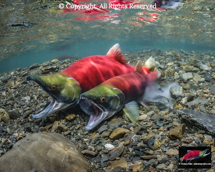 Sockeye Salmon in the act of spawning.