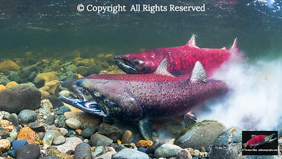 Chinook Salmon in the act of spawning