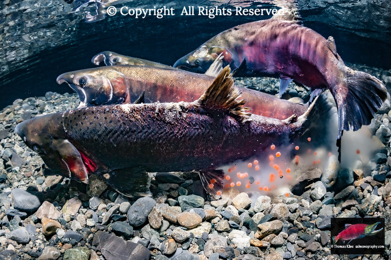 Coho Salmon spawning act