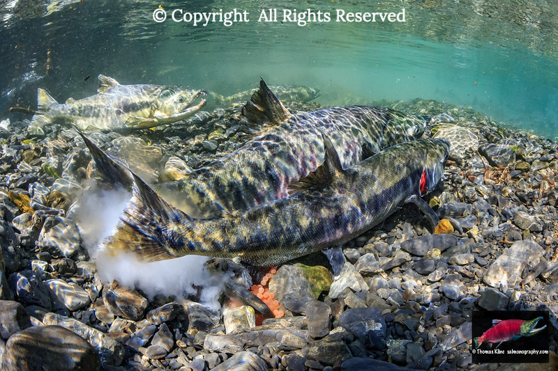 A pair of Chum Salmon spawning