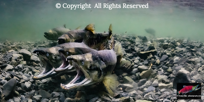 Chum Salmon in the act of spawning