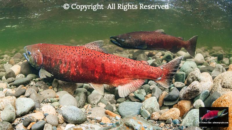 Chinook Salmon courtship