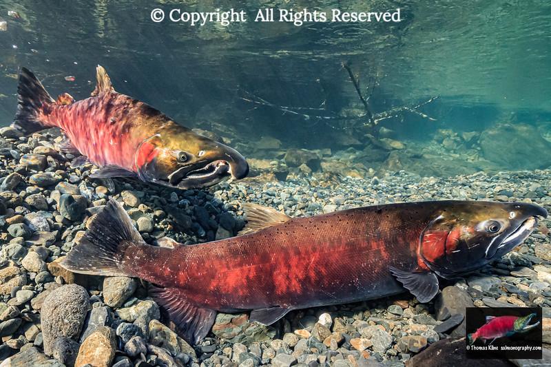 Courting Coho Salmon