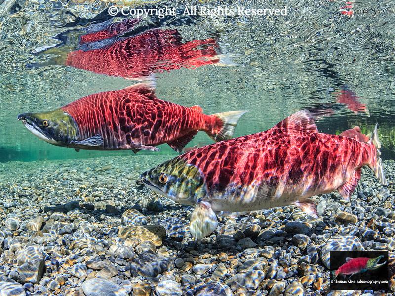 Sockeye Salmon courting