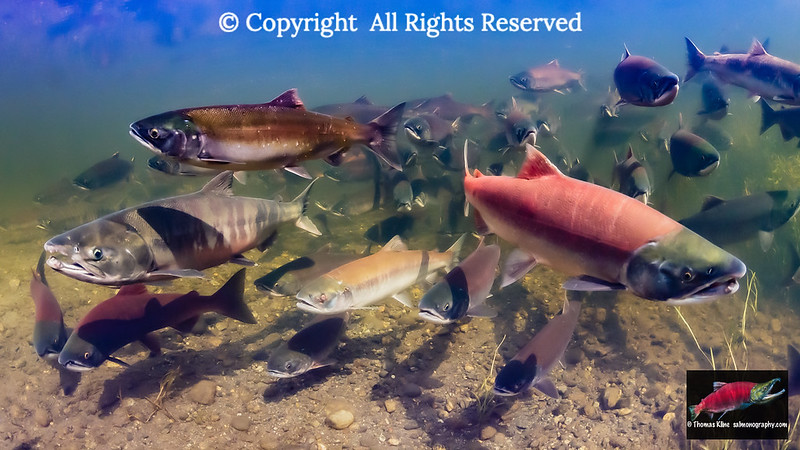 Staging Sockeye, Chum, and Coho salmon