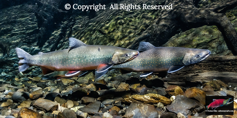 Two male Dolly Varden