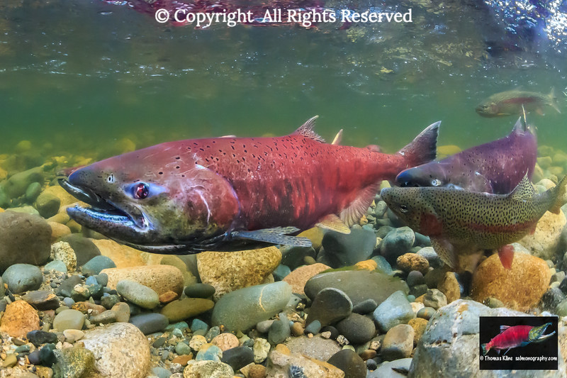 Chinook Salmon with Rainbow Trout