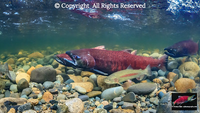 Chinook Salmon with a Rainbow Trout
