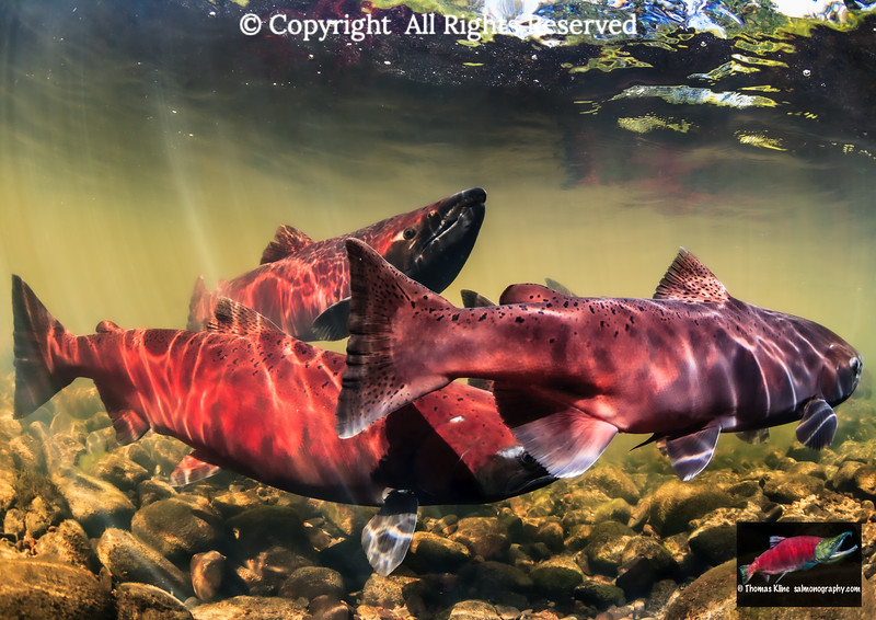 Staging Chinook Salmon